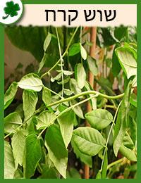 שוש קירח צמחים