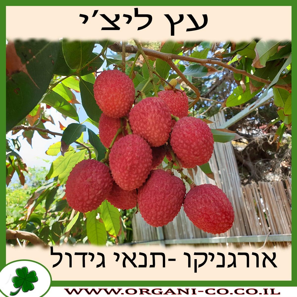 ליצ'י עץ תנאי גידול