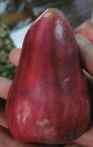 תפוח מלאי צמח