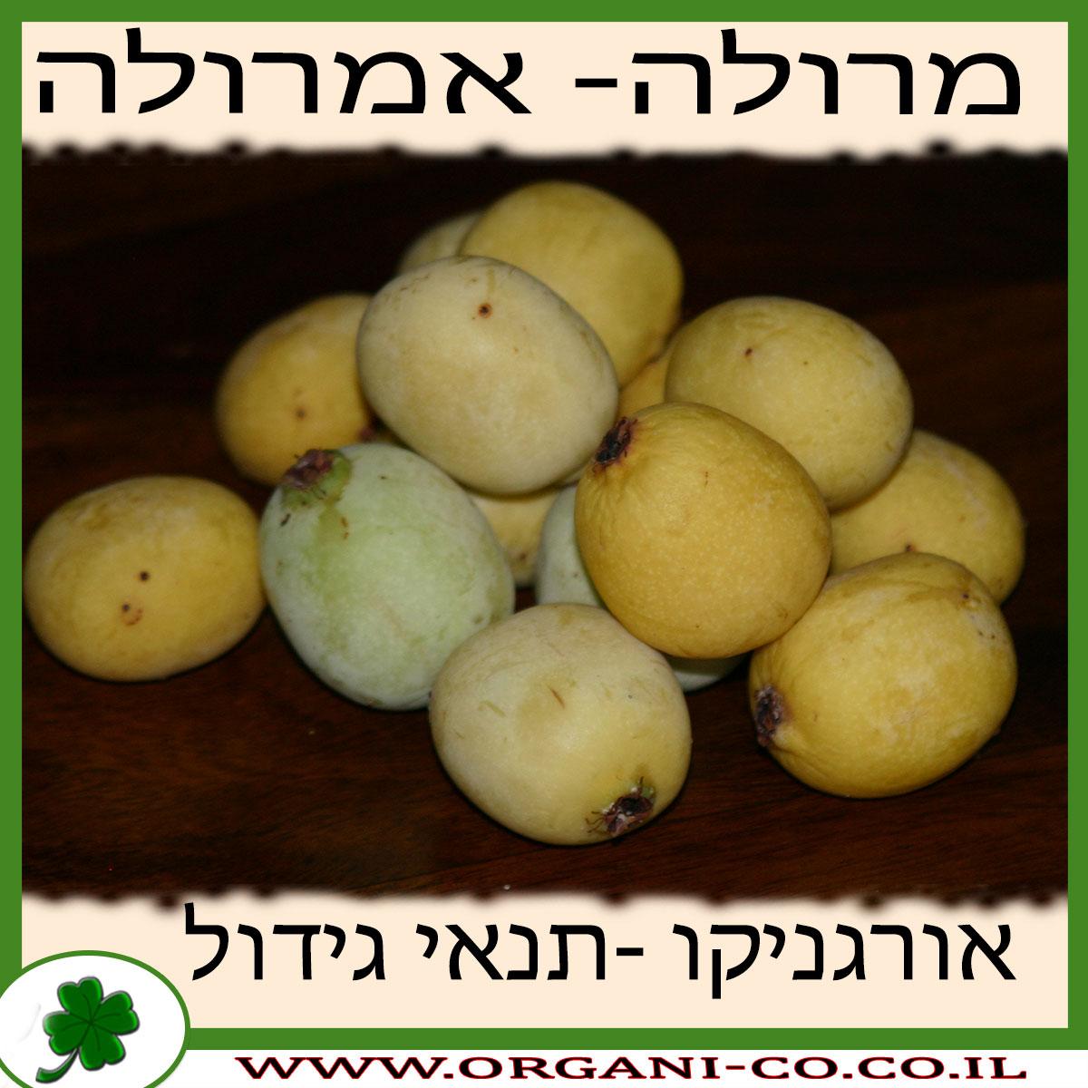 אמרולה (מרולה) גידול צמח