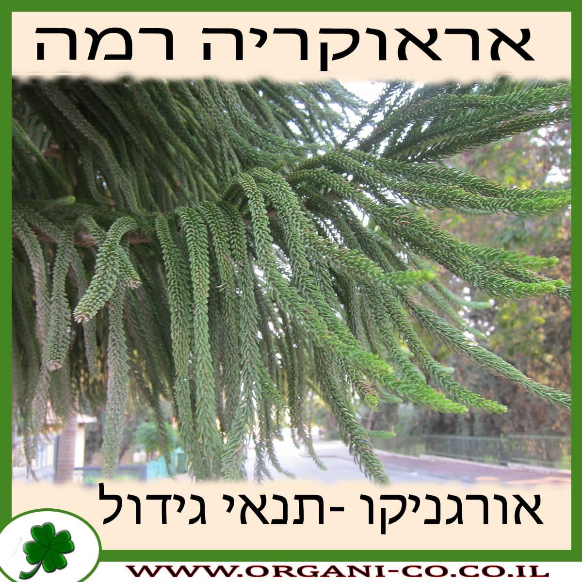 אראוקריה רמה גידול צמח