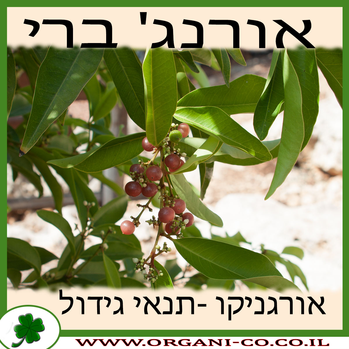 אורנג' ברי גידול צמח