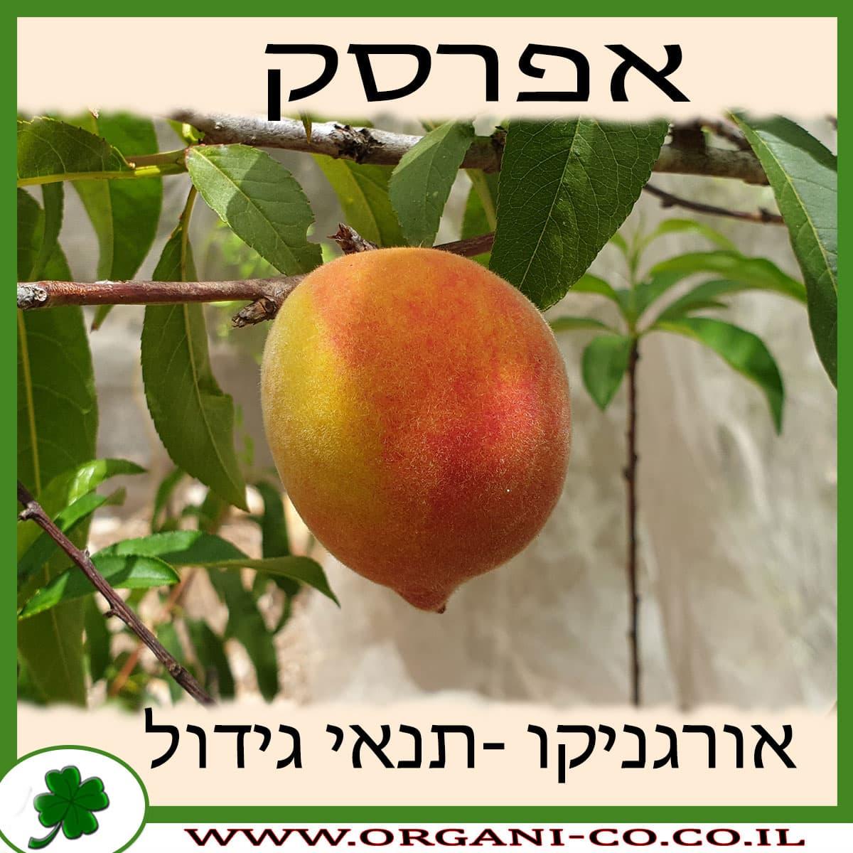 אפרסק גידול צמח