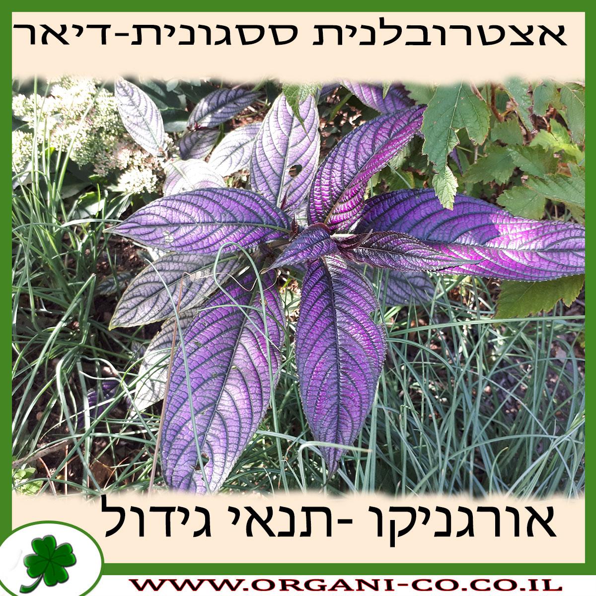 אצטרובלנית ססגונית (דיאר) גידול צמח