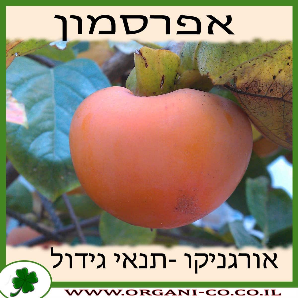 אפרסמון גידול צמח