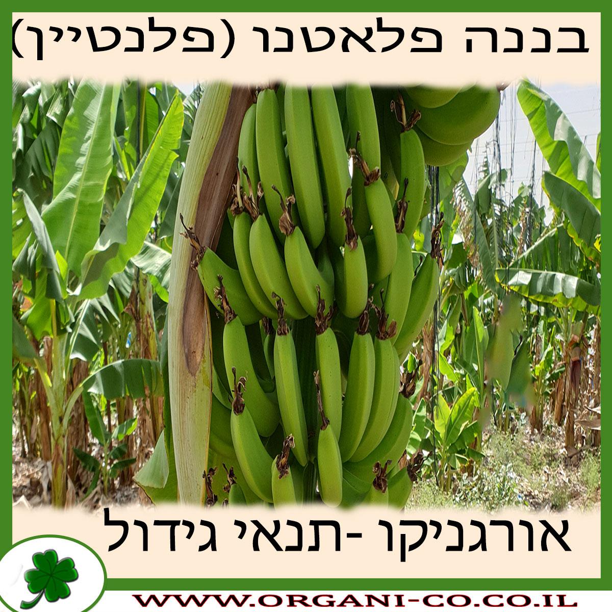 בננה פלאטנו (פלנטיין) גידול צמח