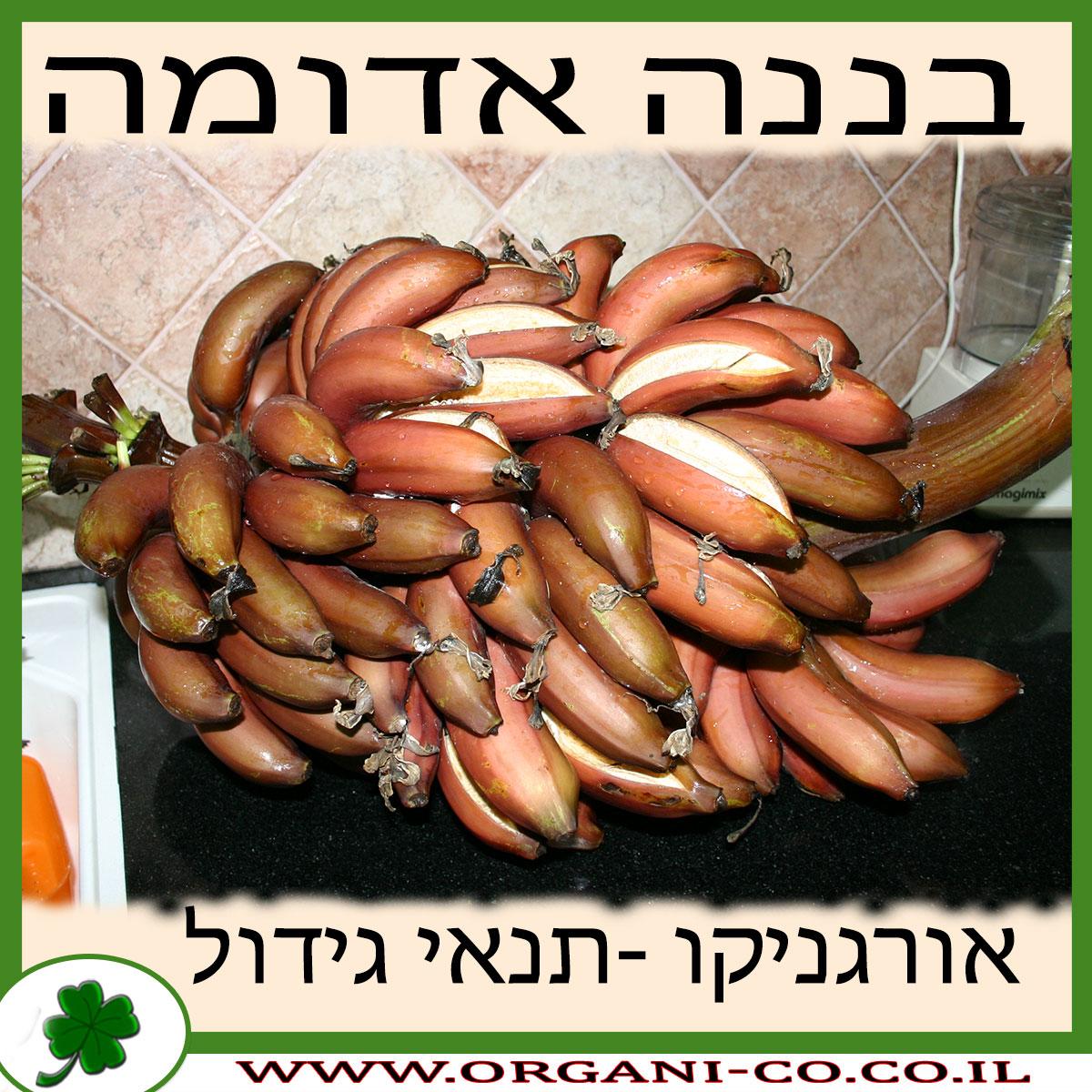 בננה אדומה גידול צמח