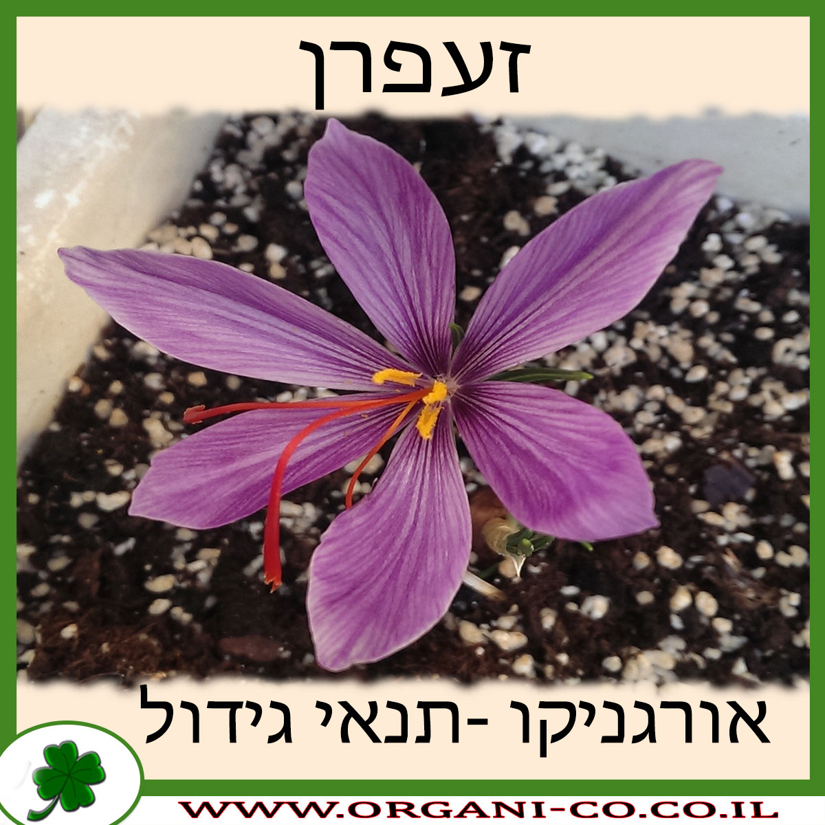 זעפרן גידול צמח