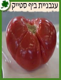 שתילי עגבניית ביף סטייק
