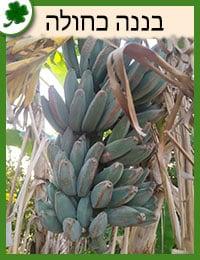 שתילי בננה כחולה