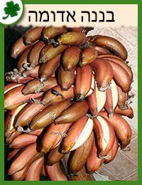 שתילי בננה אדומה