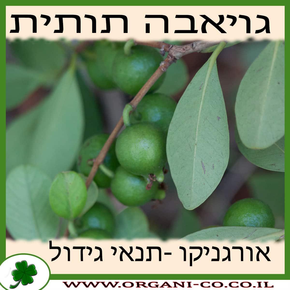 גויאבה תותית גידול צמח