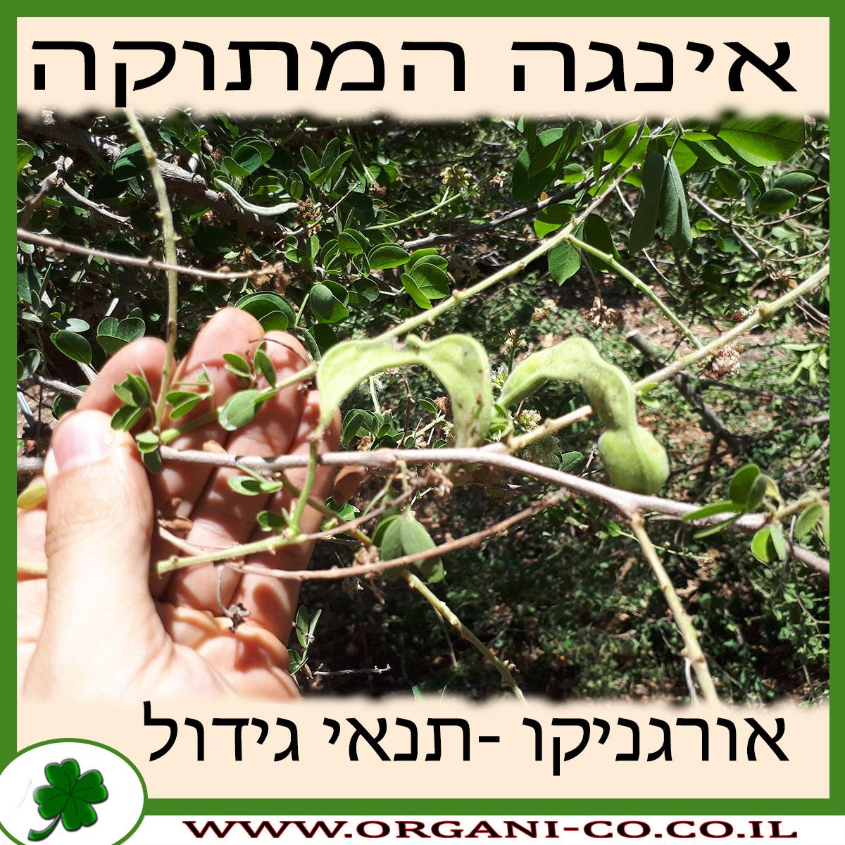 אינגה המתוקה גידול צמח
