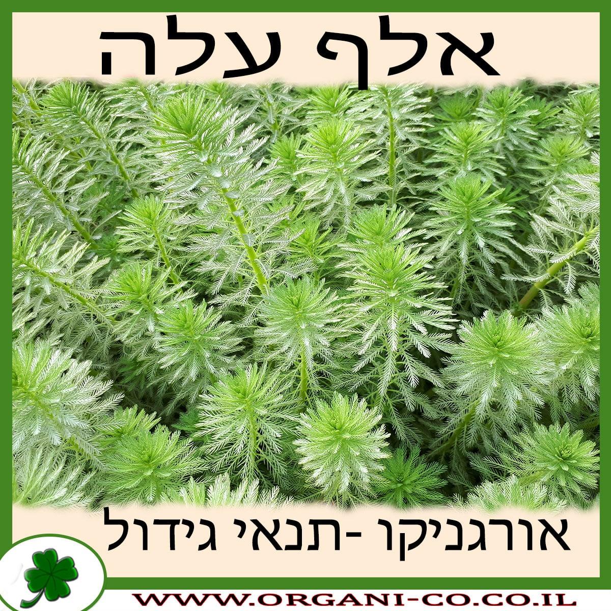 אלף עלה גידול צמח