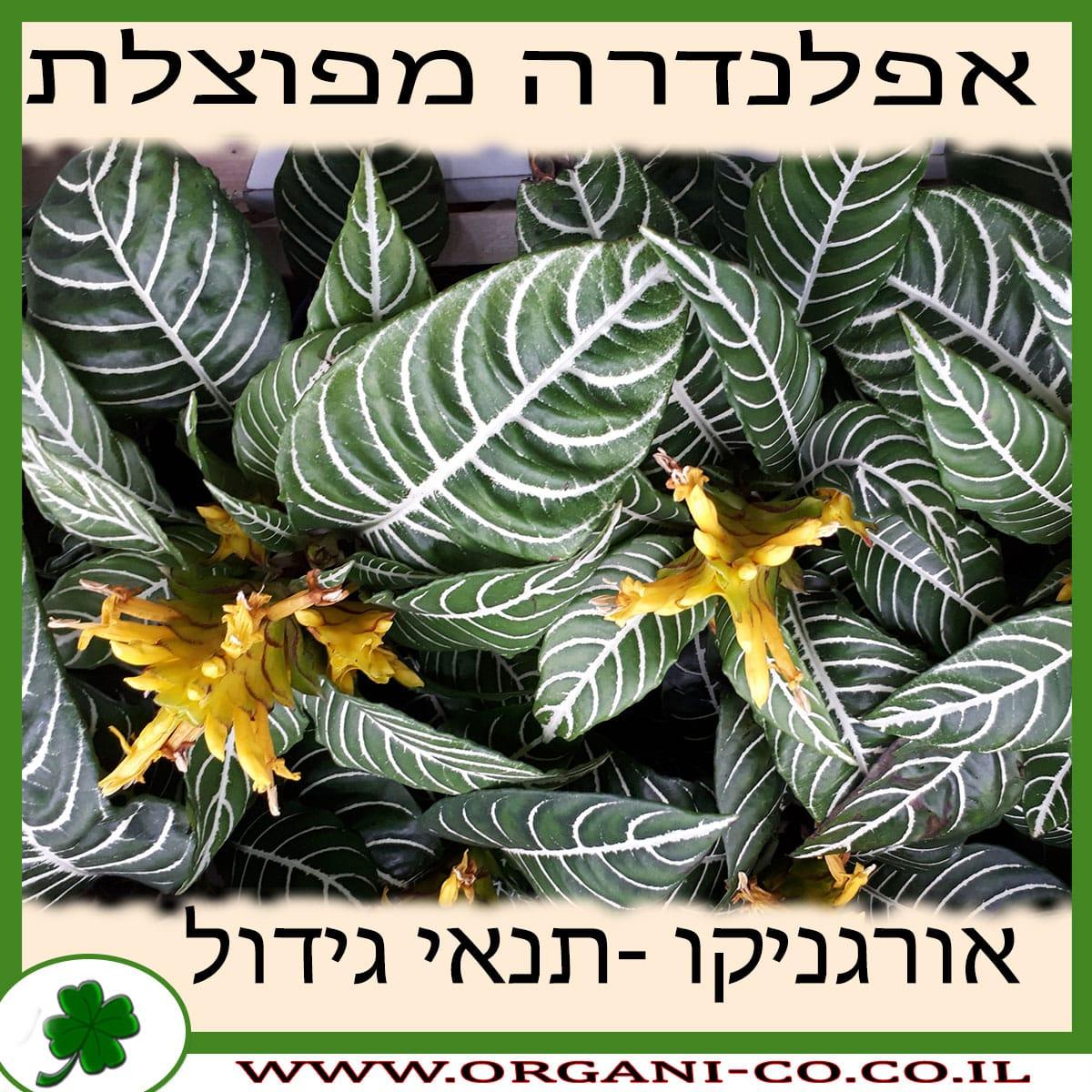אפלנדרה מפוצלת גידול צמח